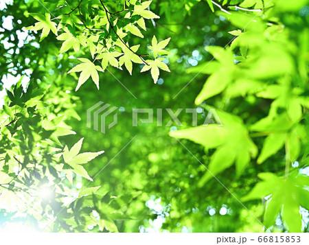 初夏の日差しを浴びて輝く楓の新緑 66815853