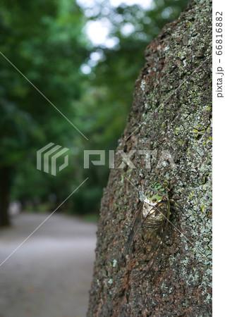 夏の公園で鳴くミンミン蝉 ~3:2バージョン 66816882