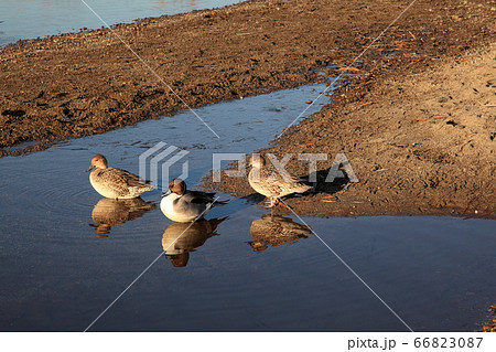 凍りつく川面で朝日の暖かさを受ける三羽のマガモ 66823087