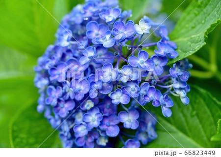雨上がりの満開のブルーのアジサイ 66823449