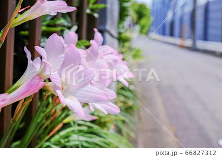 道路沿いにハブランサスが咲いている風景 66827312