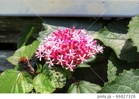 咲き始めたボタンクサギの花とつぼみ 66827326