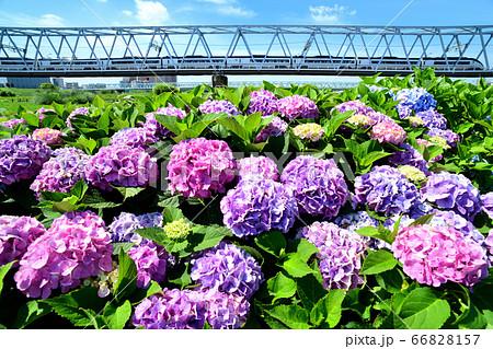 紫陽花の花と鉄橋を渡る京成スカイライナー 66828157