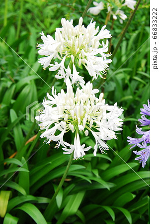 白色のアガパンサス(イナペルツス) 66833222