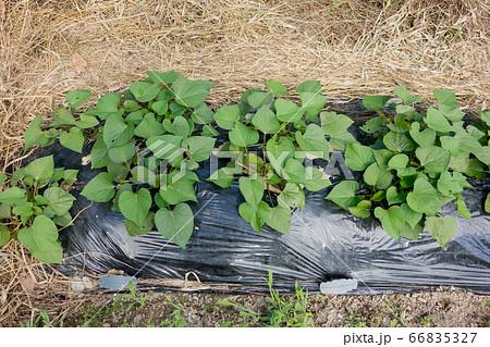 家庭菜園におけるサツマイモの栽培 66835327