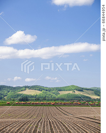 青空と玉ねぎ畑(収穫直前) 縦構図 66844954