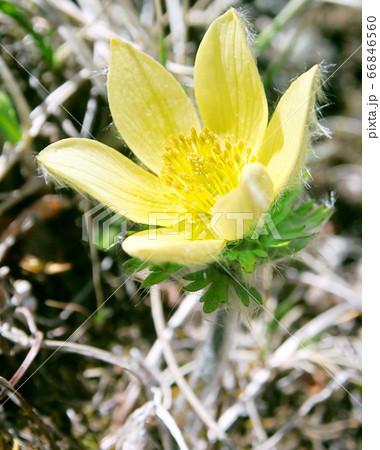 絶滅危惧種の高山植物・ツクモグサ 66846560