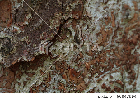 樹皮 66847994