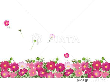 コスモス畑にたくさんの色とりどりのコスモスの花の背景素材 66856738