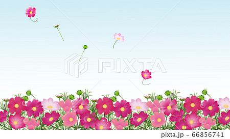 コスモス畑たくさんの色とりどりのコスモスの花ワイドバーチャル背景素材 66856741