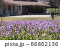 お里の春のお花 66862136