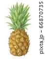 パイナップル 手描き 水彩 66870735
