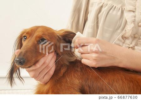 耳を掃除してもらうミニチュアダックス 66877630
