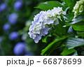 麻綿原高原 妙法生寺 の紫陽花 66878699