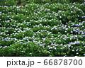 麻綿原高原 妙法生寺 の紫陽花 66878700