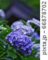 麻綿原高原 妙法生寺 の紫陽花 66878702