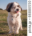Close-up of a tricolored Coton de Tulear dog looking to the side 66880550