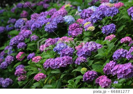 6月 府中131アジサイ・郷土の森博物館 66881277
