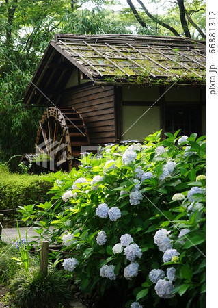 6月 府中119アジサイと水車小屋・郷土の森博物館 66881312