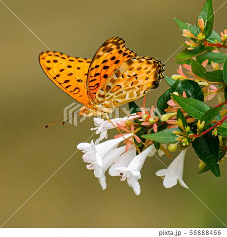 白い花の蜜を吸うツマグロヒョウモンチョウのメス・左向き 66888466