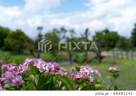梅雨の晴れ間のアジサイの花と青空のコピースペース 66895242