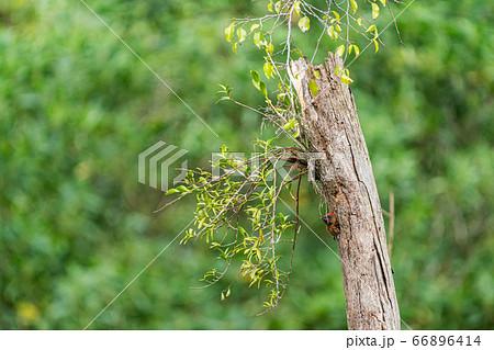 母鳥の帰りを待つシマベニアオゲラの雛 66896414