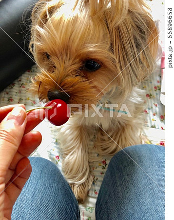 さくらんぼを食べる可愛いヨークシャーテリア 66896658