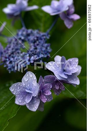 梅雨の中でしっとりと濡れるアジサイの花「城ケ崎」のクローズアップ 66897062