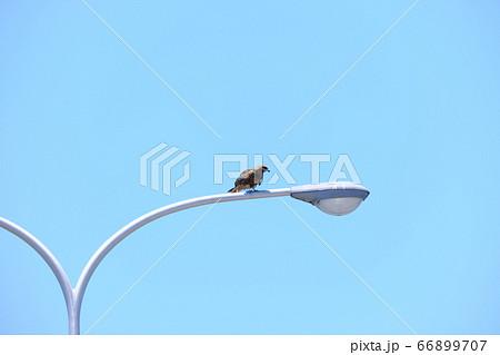 電灯に止まりながら餌を探すトンビ 66899707