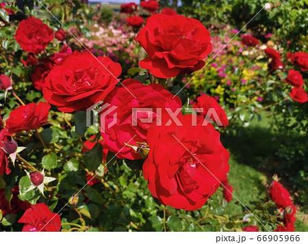 ヨーロッパのローズガーデンの赤い薔薇 66905966