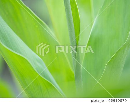 雨の日の鮮やかな緑の大きな葉 6月 66910879