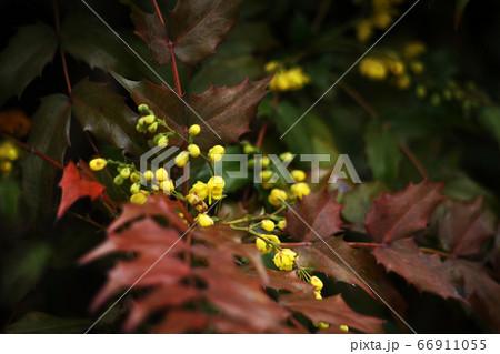 日陰に咲く、ヒイラギナンテンの花 66911055