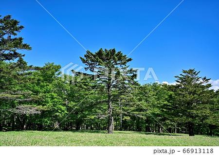 青空バックに見たトウヒの大木@大台ヶ原山、奈良 66913118