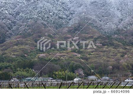 栃木市ブドウ団地から見る雪をまとう晃石山と山桜の咲く山麓 66914096