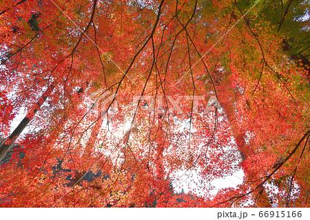 見上げる構図のモミジ 佐野市葛生町金蔵院のモミジ 66915166