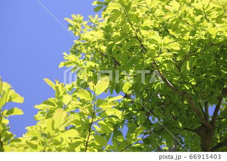 初夏の元気でグリーンなシマトネリコ 66915403