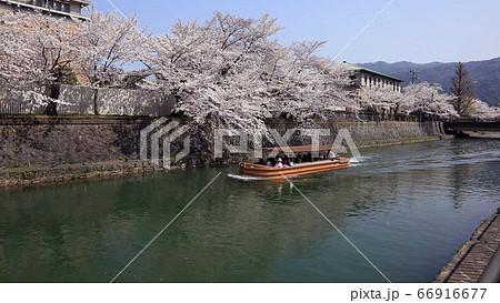 3月 琵琶湖疏水の桜を見る屋形船 66916677
