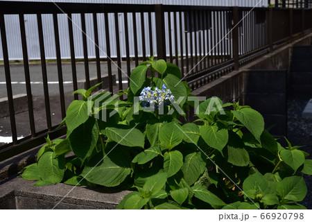 落ち着いた雰囲気の青い綺麗な紫陽花の花 66920798