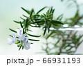 ローズマリーの花 素材写真 66931193