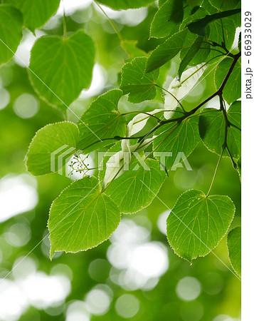 自然風景植物写真 安眠作用のある西洋菩提樹の花と苞(ほう) 66933029