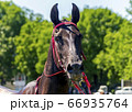 Portrait of  brown akhal-teke horse. 66935764