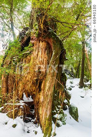 屋久杉かみなりおんじ(2月)国立公園屋久島白谷雲水峡の森 66940180