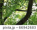 樹木と葉っぱ 66942683