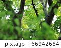 樹木と葉っぱ 66942684