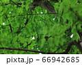 樹木と葉っぱ 66942685