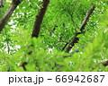 樹木と葉っぱ 66942687