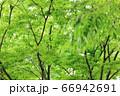 樹木と葉っぱ 66942691