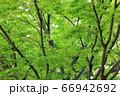 樹木と葉っぱ 66942692