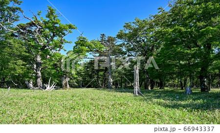 枯れ木と新緑のコラボが美しい牛石ヶ原の情景@大台ヶ原山、奈良 66943337