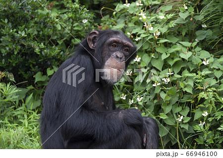 口を真一文字に閉じ目を見開いたチンパンジー 66946100